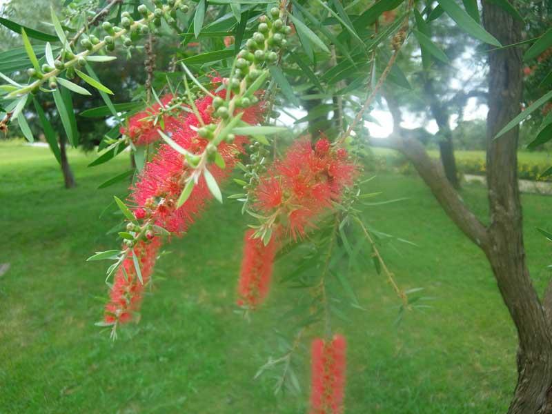 ブラシノキ:浜名湖ガーデンパーク
