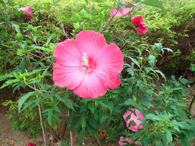 タイタンビカス:浜名湖ガーデンパーク