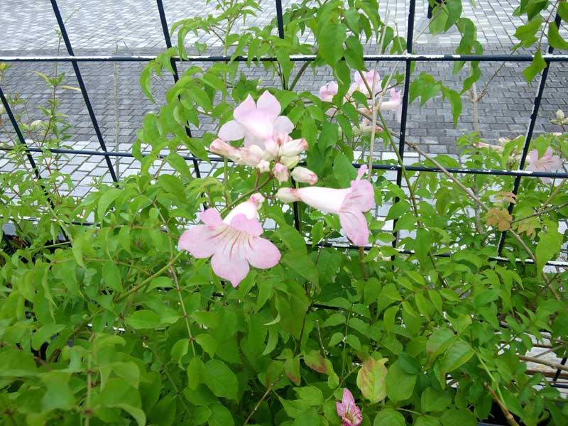 ピンクのノーゼンカズラ:浜名湖ガーデンパーク