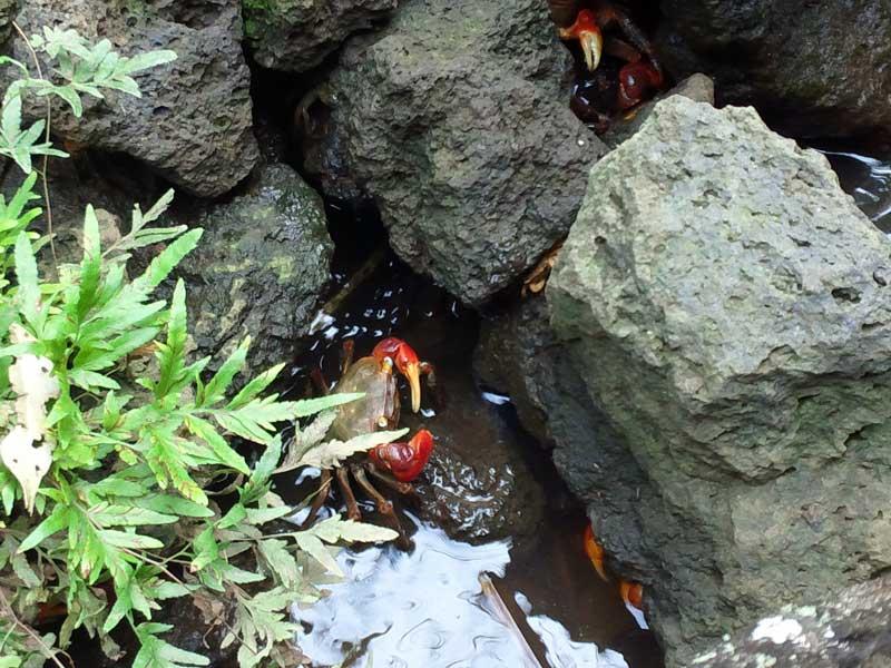 サワガニ:浜名湖ガーデンパーク