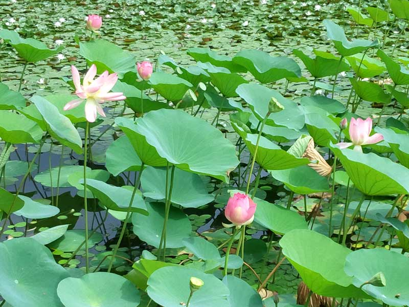 蓮の花:浜名湖ガーデンパーク
