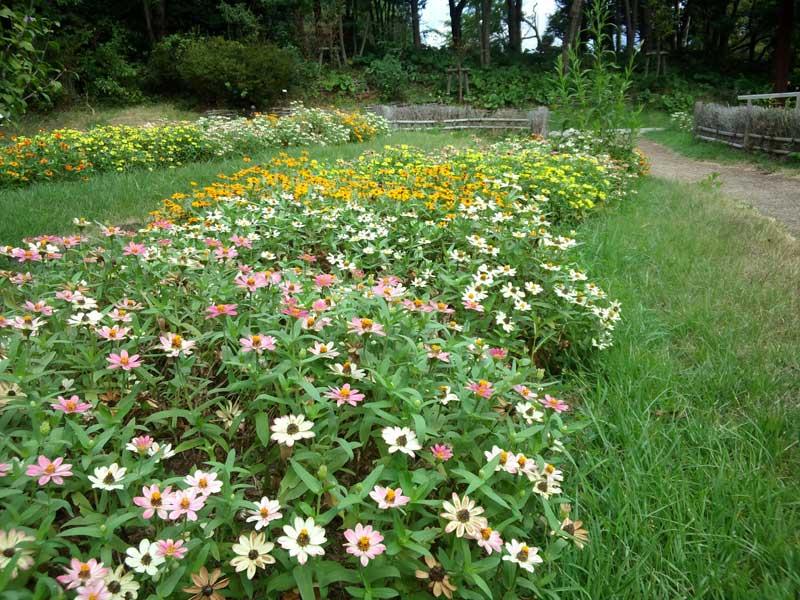 百日草:浜名湖ガーデンパーク