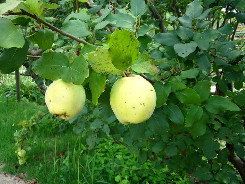 リンゴ:浜名湖ガーデンパーク
