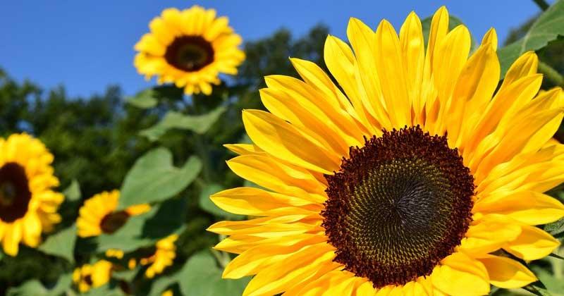 ひまわりが太陽の方を向く理由