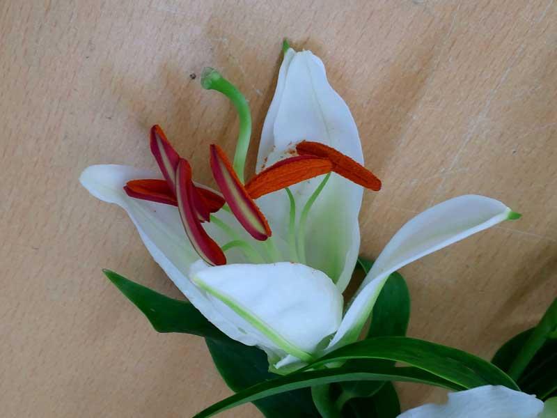 花粉がビッシリのユリの花