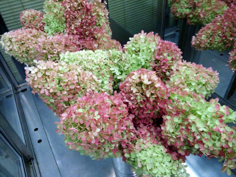 秋色アジサイの切り花