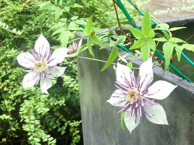 クレマチスの丘:白と紫
