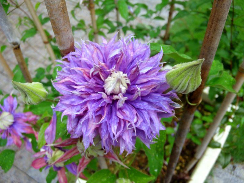 クレマチスの丘:紫の八重