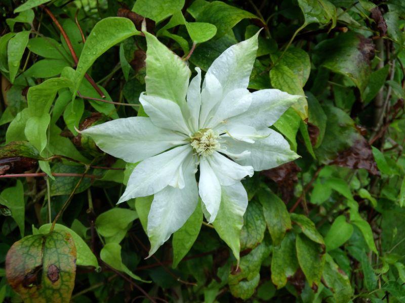 クレマチスの丘:白緑の花