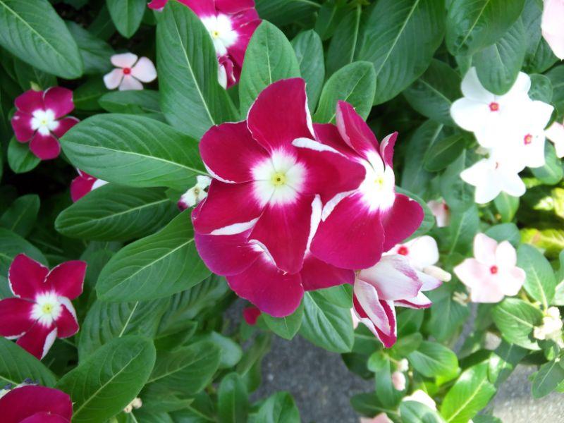 8月の花:ニチニチソウ
