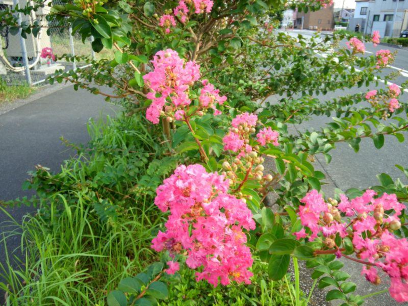 8月の花:サルスベリ