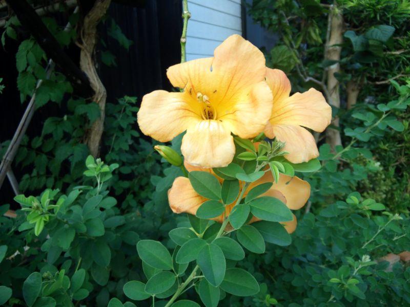 8月の花:ノウゼンカズラ