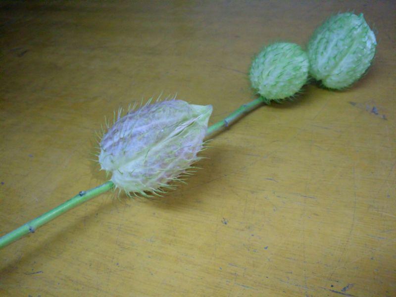 フウセントウワタを生け花