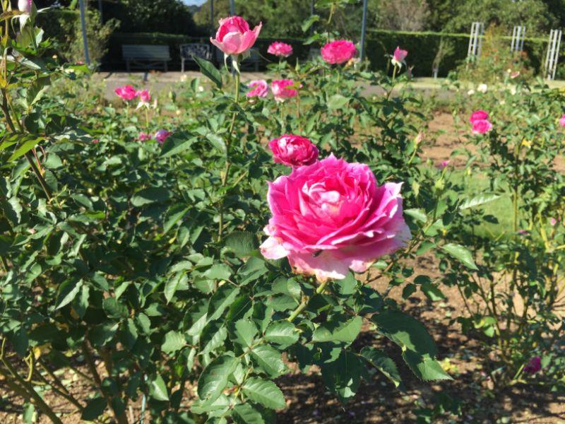 はままつフラワーパーク:ピンクの薔薇