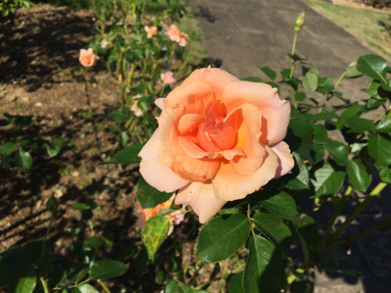 はままつフラワーパーク:オレンジの薔薇