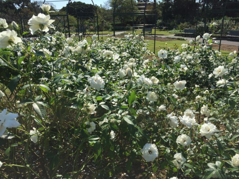 はままつフラワーパーク:バラ園の白い薔薇