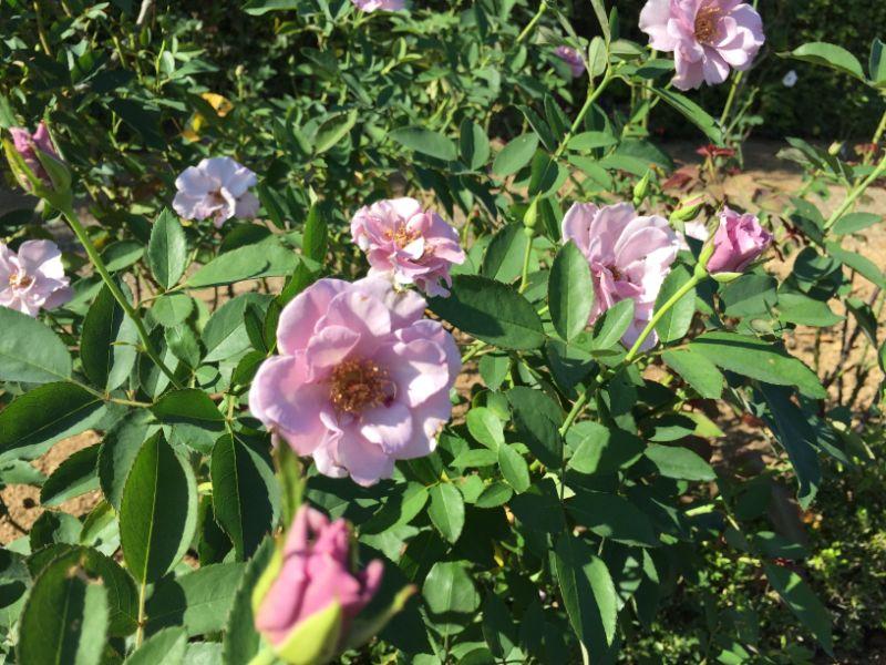 はままつフラワーパーク:バラ園の紫のバラ