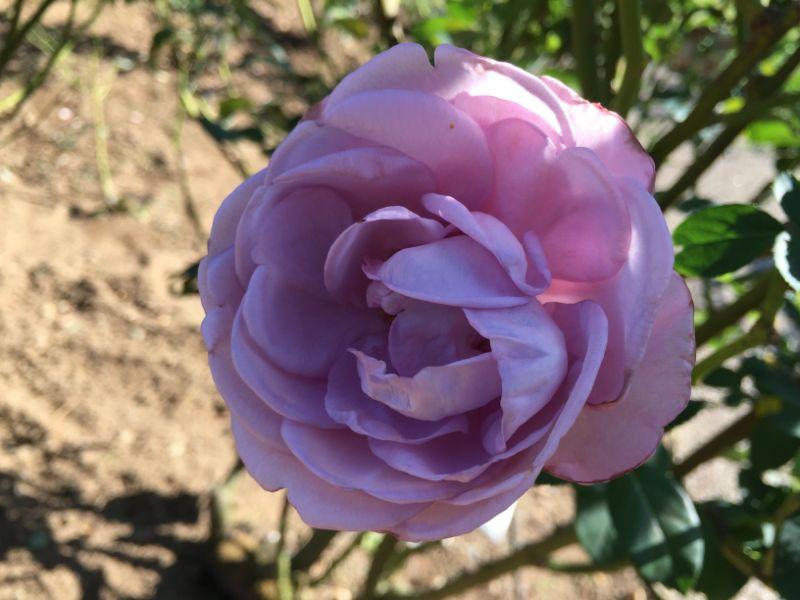 はままつフラワーパーク:紫のバラ