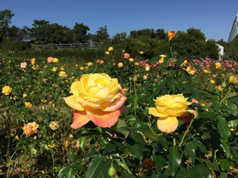 はままつフラワーパーク:バラ園の黄色の薔薇