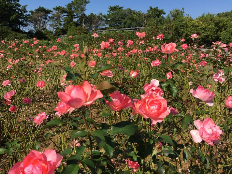 はままつフラワーパーク:バラ園のピンクの薔薇