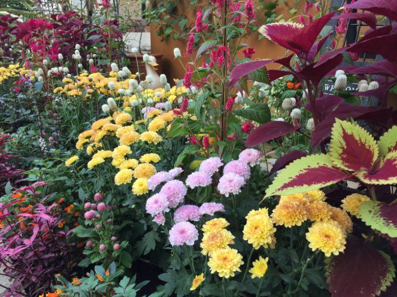 はままつフラワーパーク:黄色い菊たち