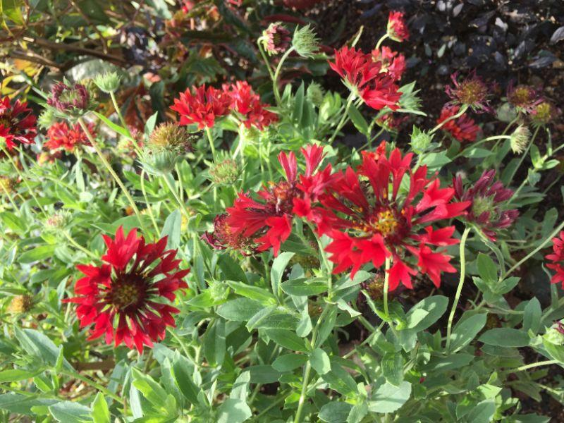 赤いガイラルディアの花