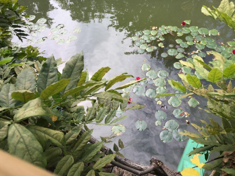 池に浮かぶ睡蓮の花