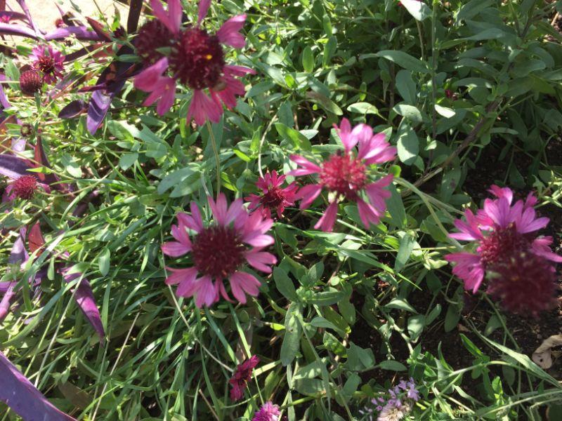 赤紫のガイラルディアの花