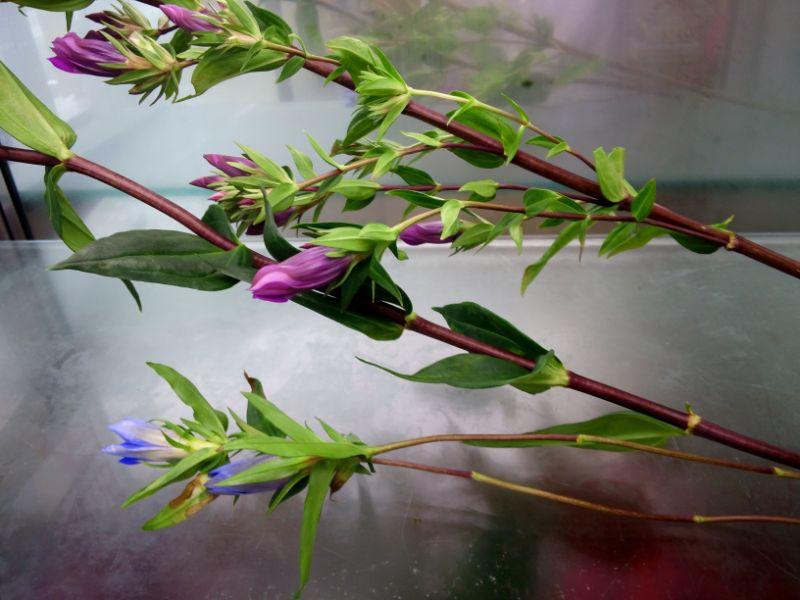枝分かれしているリンドウの切り花