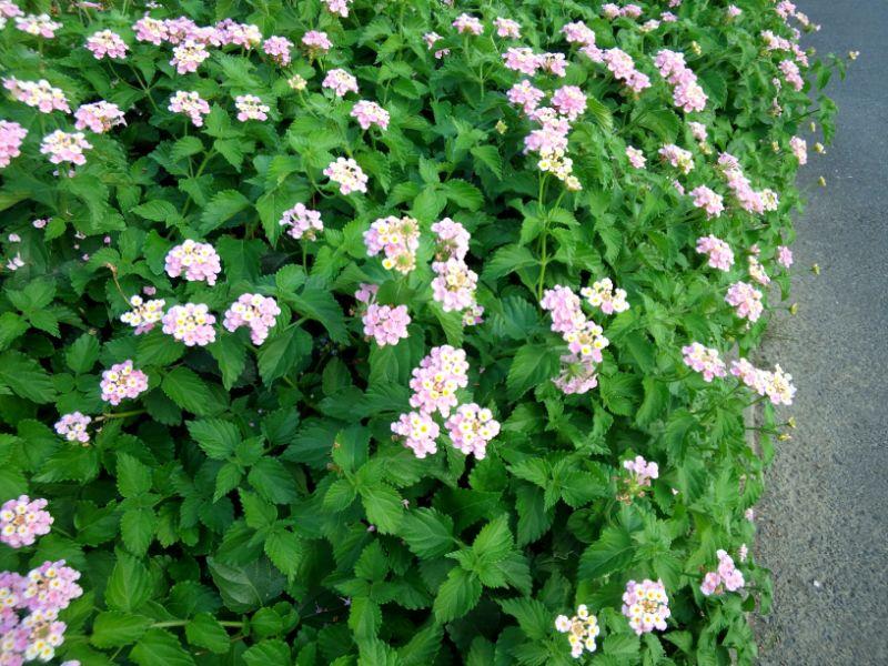 ランタナの花(夏)