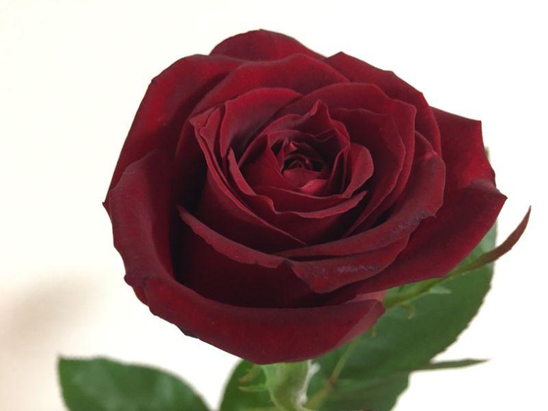 元気になったバラの切り花