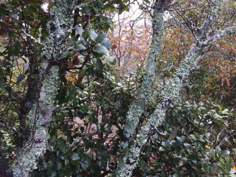 伊豆の国パノラマパーク:山頂の苔むした木々