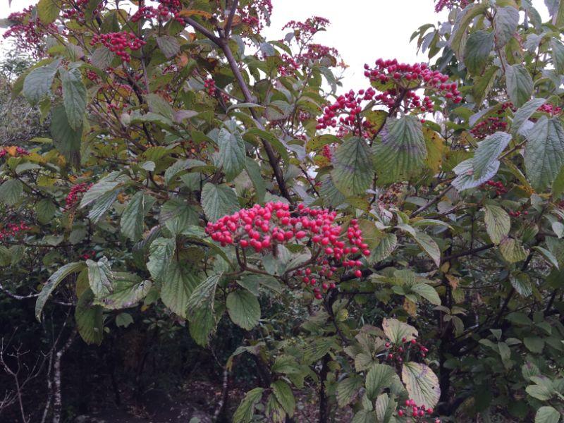 伊豆の国パノラマパーク:山頂で赤く色づく実