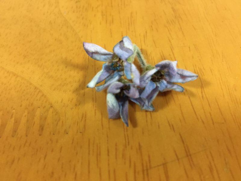 ブルースターの傷んだ花はエチレンガス対策としても摘み取る