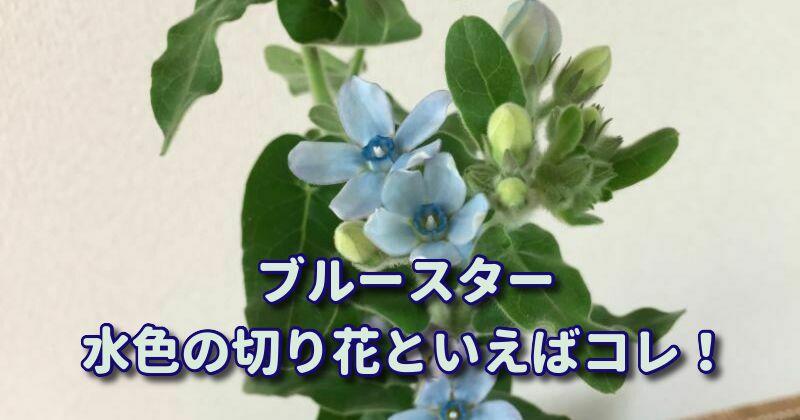 ブルースターの切り花:水色の切り花の定番