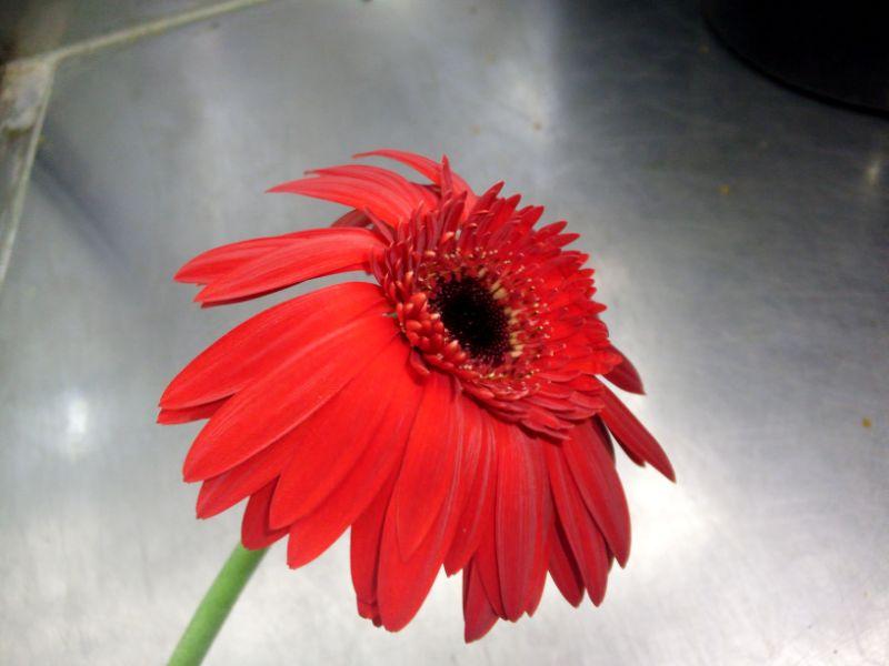 花びらが反り返ったガーベラ