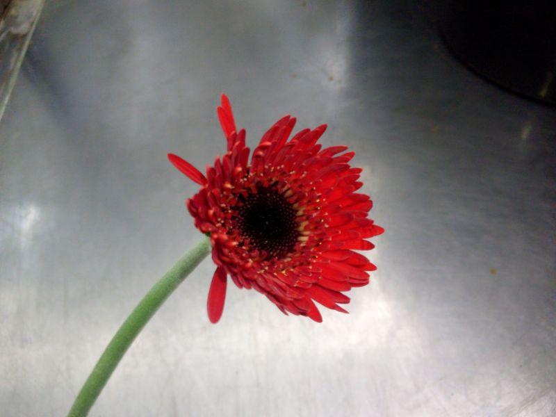 花びらをとったガーベラ
