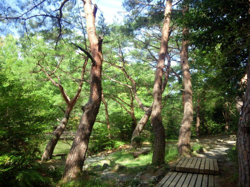 森林公園の赤松林
