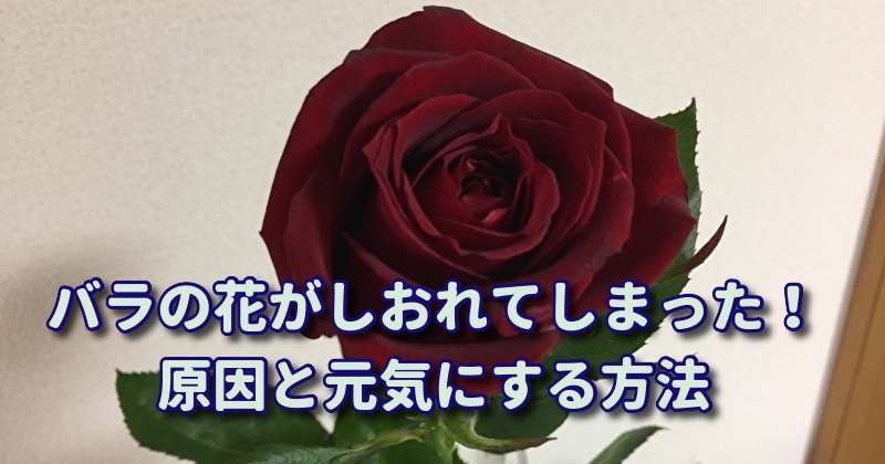 バラの切り花がしおれる