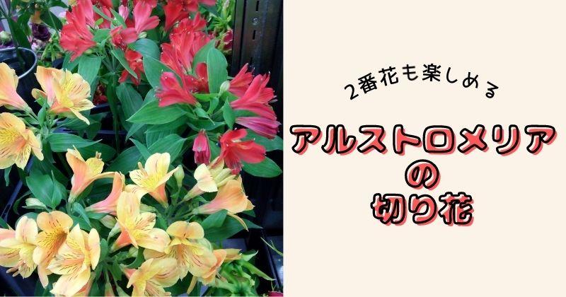 アルストロメリアの切り花は2番花も楽しめる