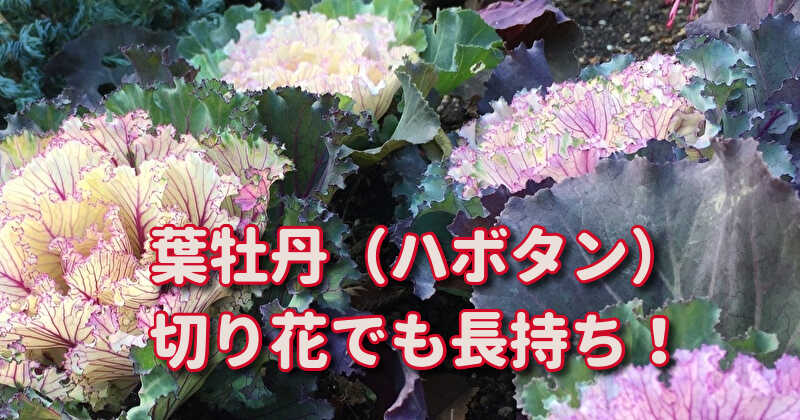 ハボタンの切り花