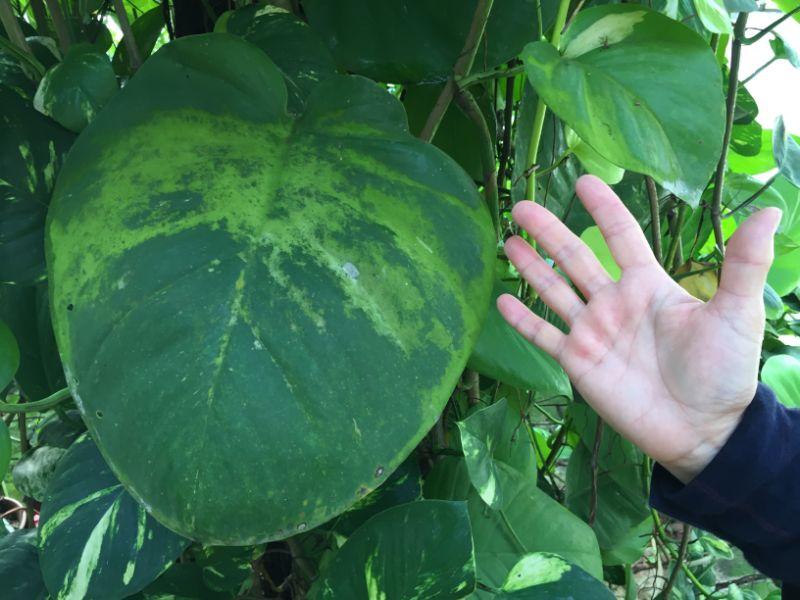 巨大なポトスの葉っぱ