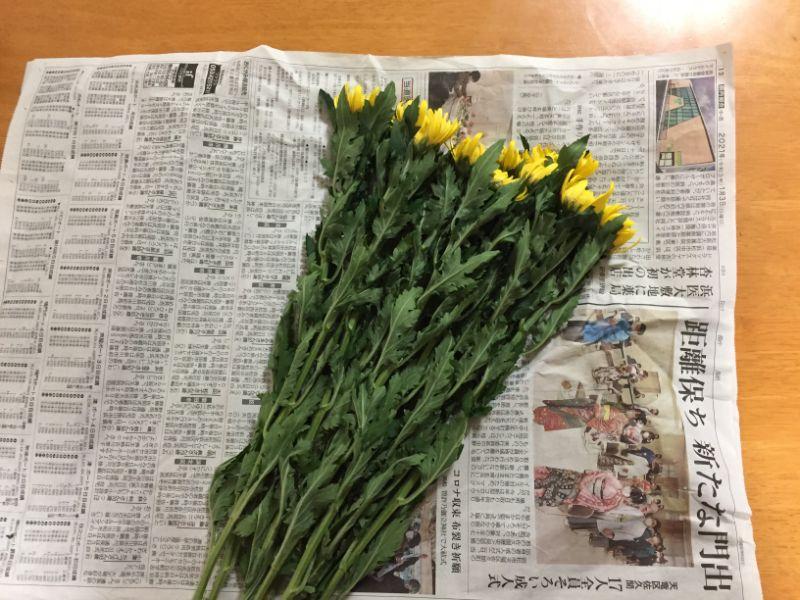 しおれた菊の花を新聞紙で巻く