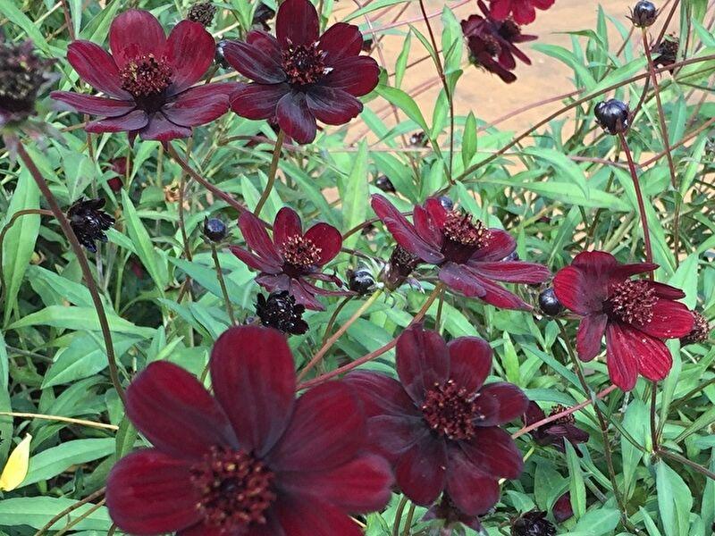 チョコレートコスモスの切り花の特徴、飾り方