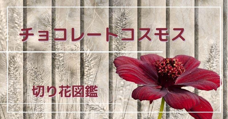 チョコレートコスモスの切り花:色も香りもまるでチョコレート!日持ちも良くてシックな雰囲気♪