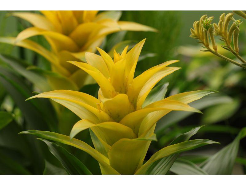グズマニアの切り花:黄色