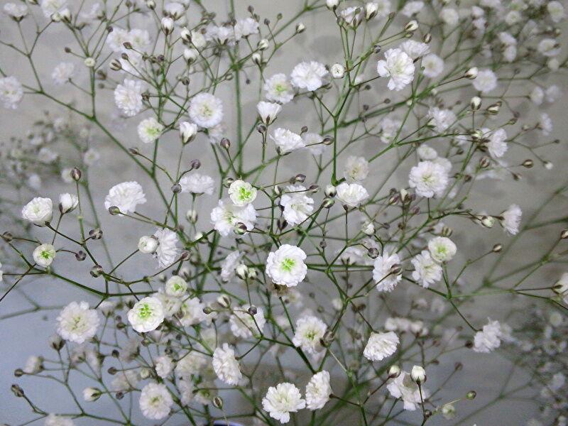 カスミソウの切り花:匂いが臭い
