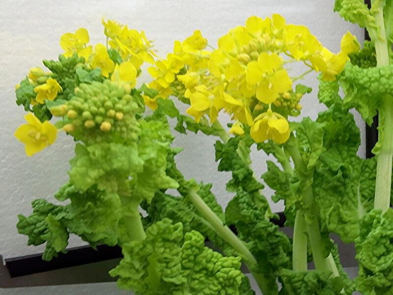 ナノハナの切り花、水揚げ方法と管理の注意点