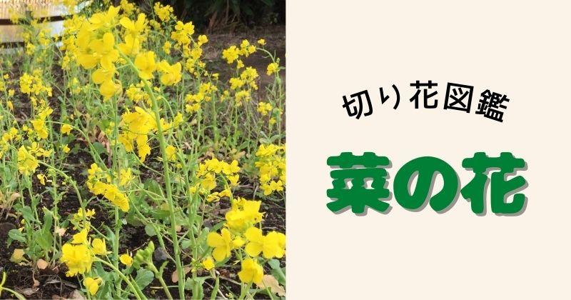 ナノハナの切り花