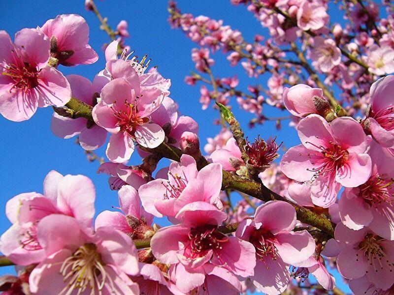 モモの切り花の特徴